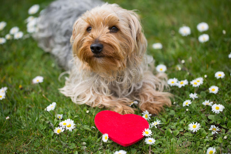 Sweet yorkshire terrier in a meadow, with a red heart stock photo