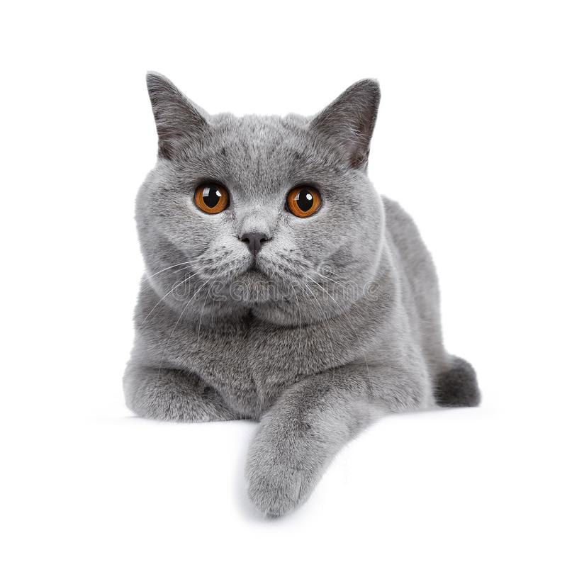 Sweet young adult solid blue British Shorthair cat isolated on white background. Sweet young adult solid blue British Shorthair cat kitten laying down front view stock images