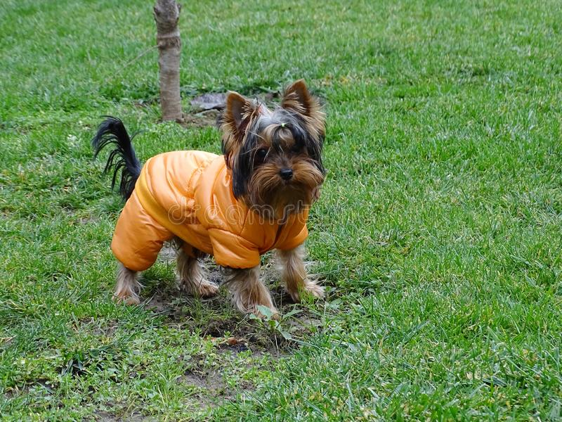 Sweet young female Silky Terrier in various colorful jackets royalty free stock photography