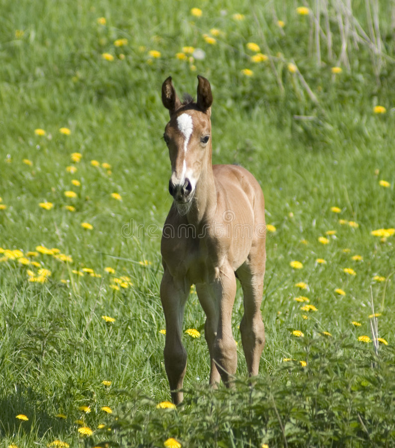 A sweet young foal stock photos