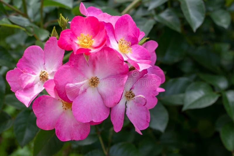 sweetbriar玫瑰照片在软的焦点 免版税库存图片