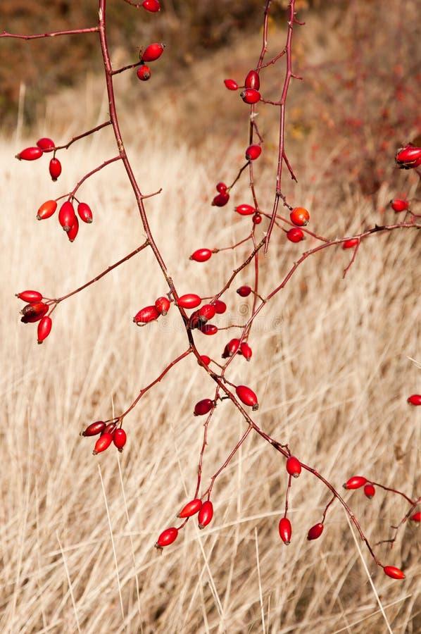 Sweetbriar nam (Rosa rubiginosa) Heupen toe royalty-vrije stock afbeelding