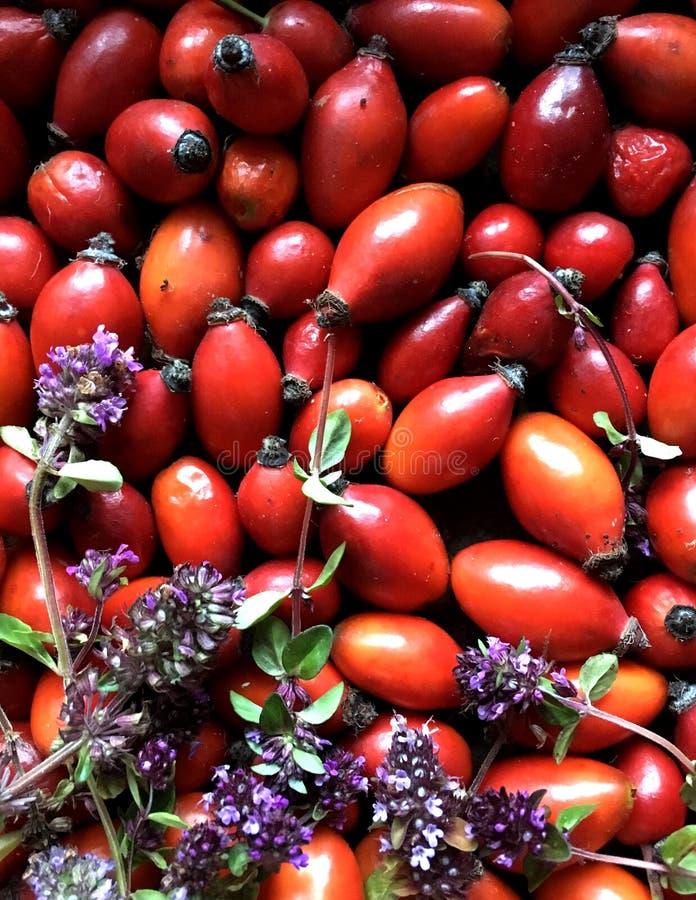 Sweetbrier hund-ros textur, bakgrund för att planlägga en broschyr eller annonsering sunt av äta royaltyfria foton