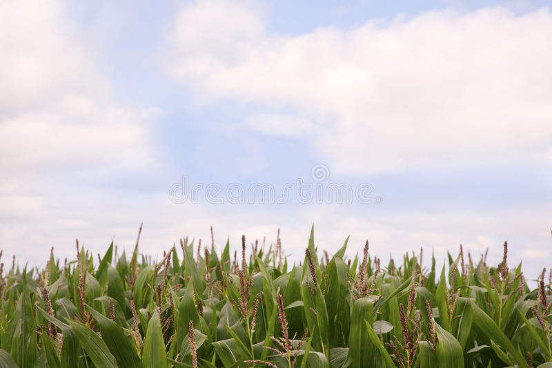 Sweetcorn ανάπτυξη σε έναν τομέα στοκ εικόνα με δικαίωμα ελεύθερης χρήσης