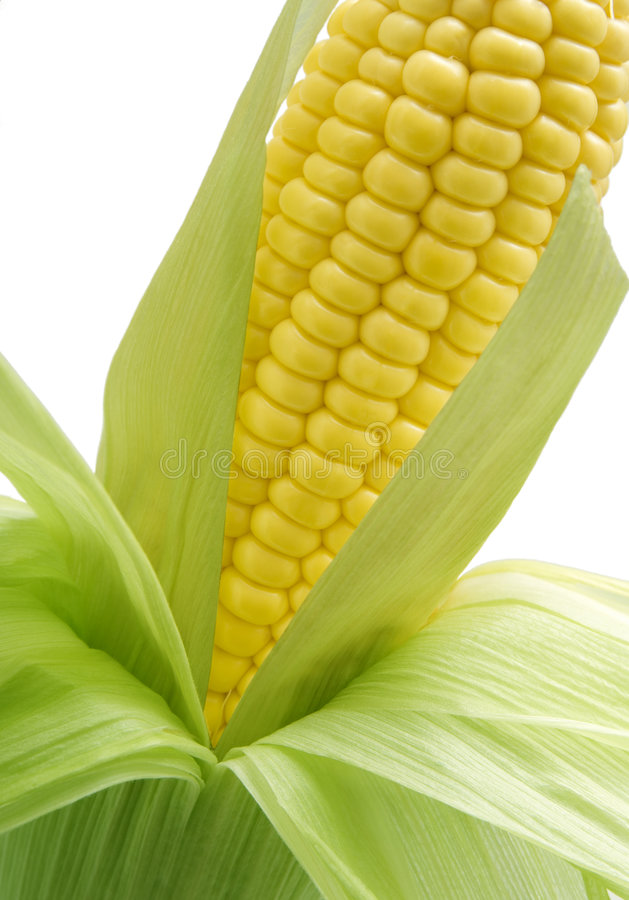Download Sweetcorn on the cob stock photo. Image of single, food - 3299436