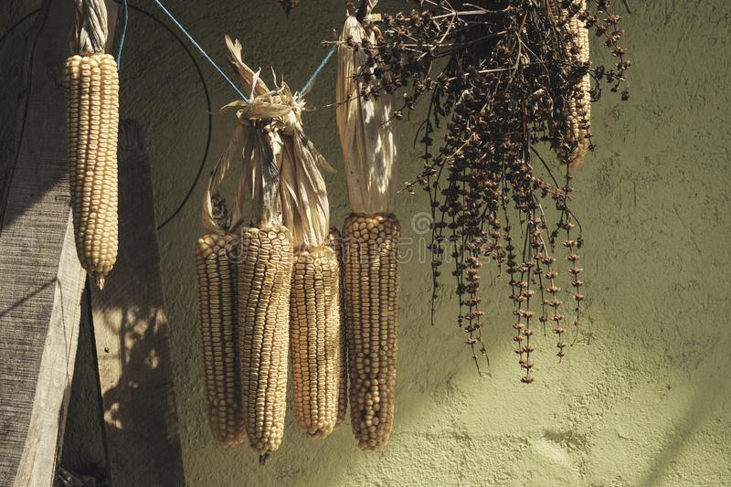Sweetcorn hung up for drying. Against a old wall royalty free stock photos