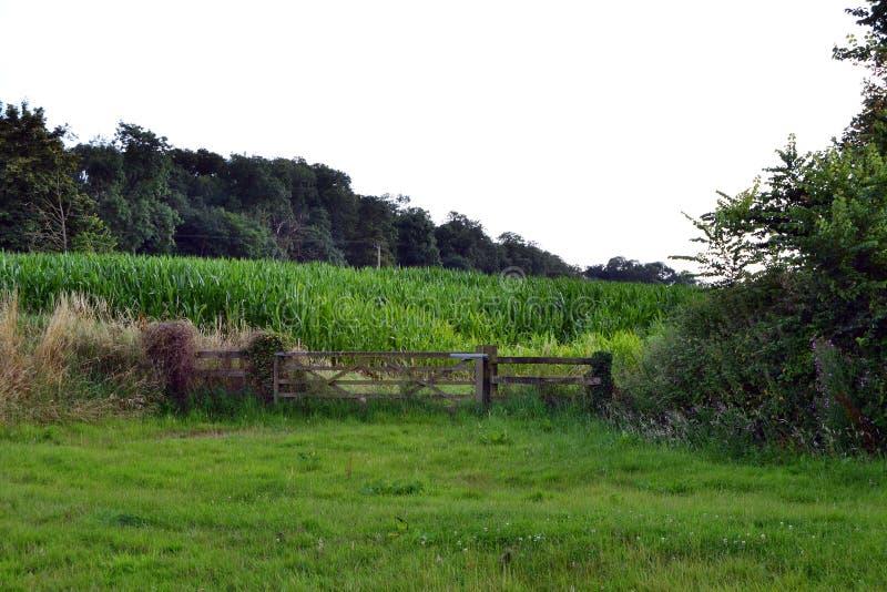 Sweetcorn Landscape stock photos