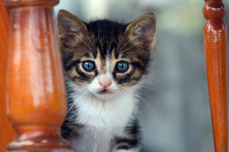 The sweetest eyes of a blue-eyed kitten. The eyes of innocence represented by a kitten stock image