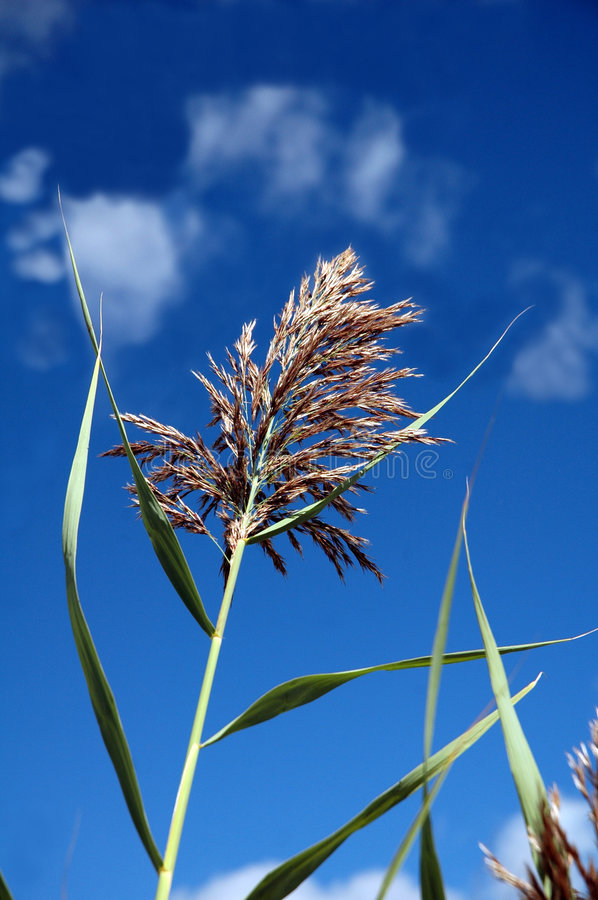 Sweetgrass. Alone against a blue sky royalty free stock photos