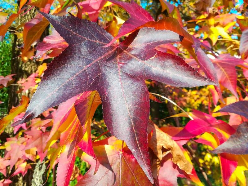 Sweetgum americano, no outono com suas vermelho, laranja e folhas do amarelo fotos de stock royalty free