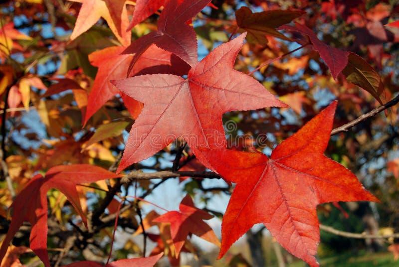 Sweetgum im Herbst stockbild