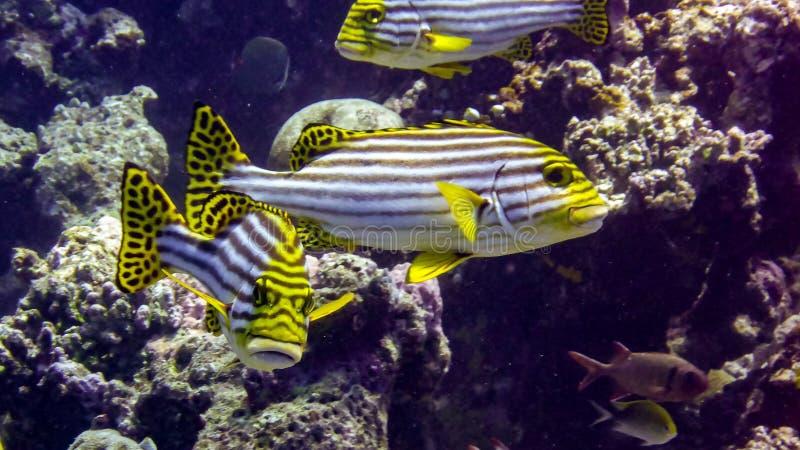 Sweetlip oriental en las aguas tropicales del Océano Índico, Maldivas fotos de archivo