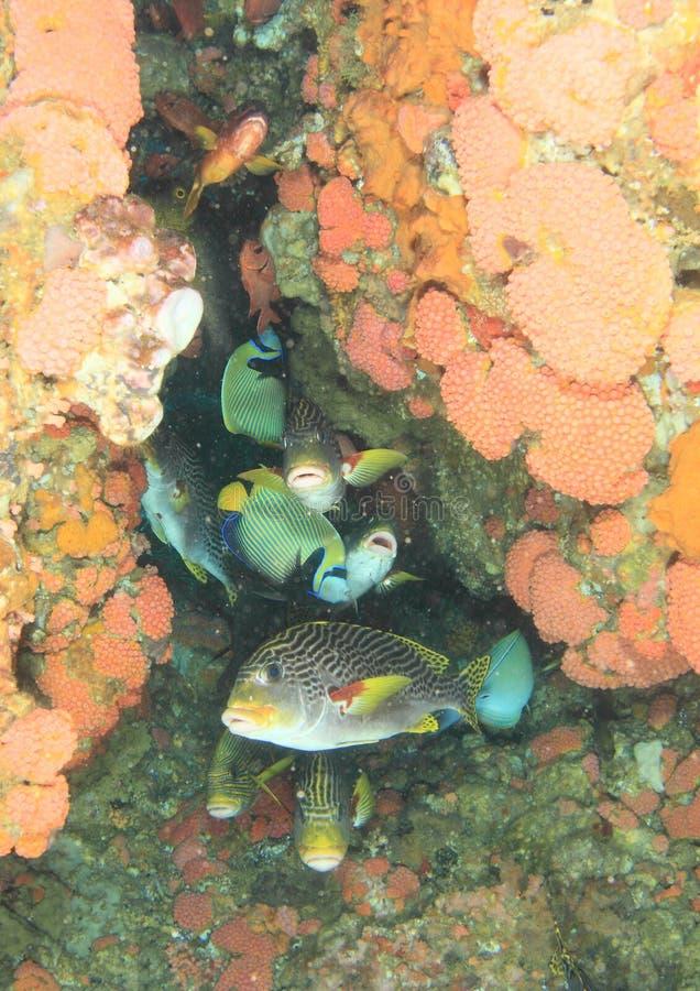 Sweetlips en rode vissen royalty-vrije stock afbeelding