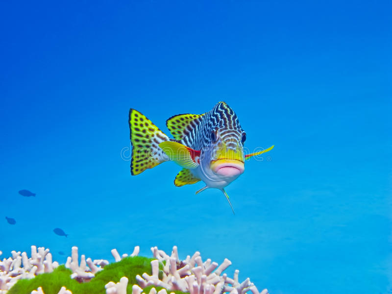 Download Sweetlips, Great Barrier Reef, Australia Stock Photo - Image: 26383150