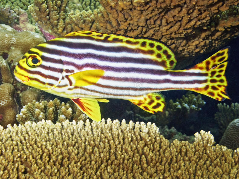 Sweetlips portrait from sea stock photos