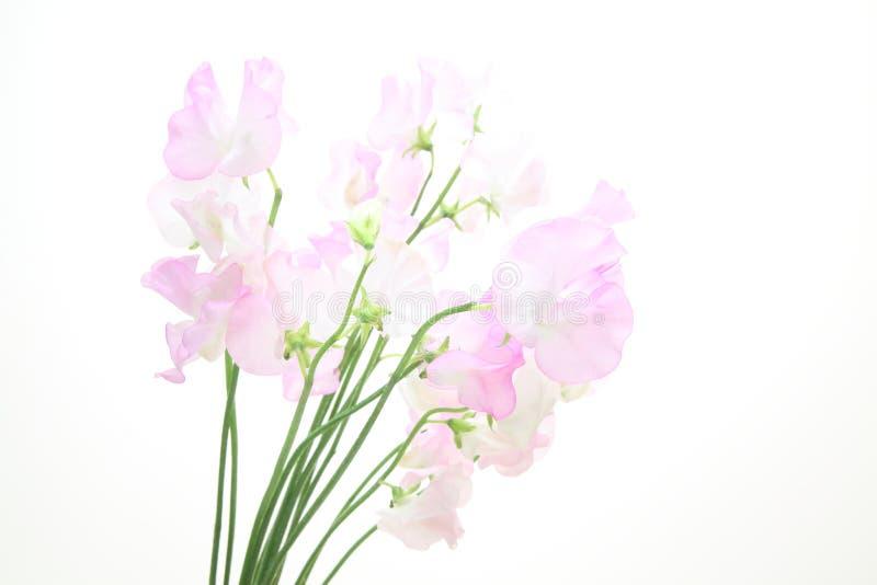 Download Sweetpea Em Um Fundo Branco Imagem de Stock - Imagem de vívido, estúdio: 107528609