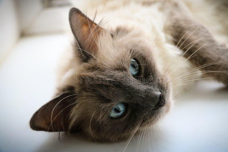 Sweety Thai kitty royalty free stock image