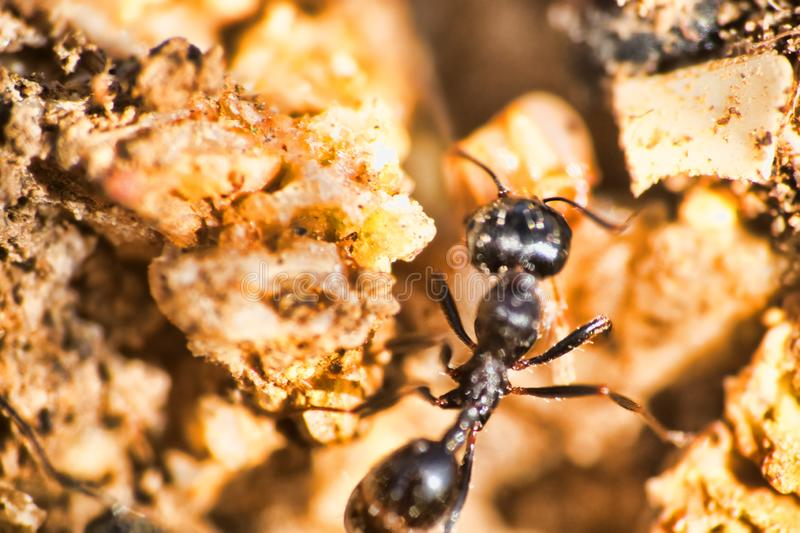 Swift ants are fixed on macro photo. Swift Cataglyphis ants are fixed on macro photo in nature. The lower reaches of the river Volga, april stock images