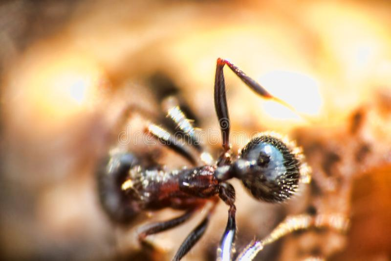 Swift ants are fixed on macro photo. Swift Cataglyphis ants are fixed on macro photo in nature. The lower reaches of the river Volga, april stock photography