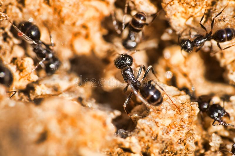 Swift ants are fixed on macro photo. Swift Cataglyphis ants are fixed on macro photo in nature. The lower reaches of the river Volga, april royalty free stock photos