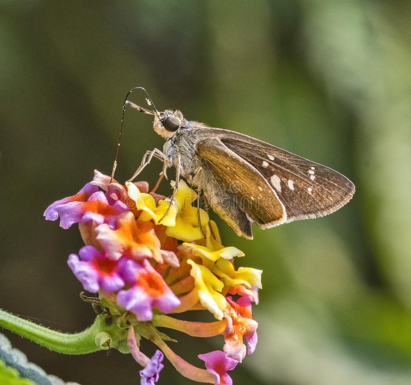 Swift Butterfly: Collecting nector from flowers. Swift butterfly sucking nector from flowers in natural blur background royalty free stock image