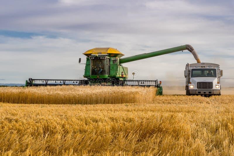 Swift Current, SK, Canada - 8 september 2019: Combineer het lossen van tarwe in korrelvrachtwagen stock afbeeldingen