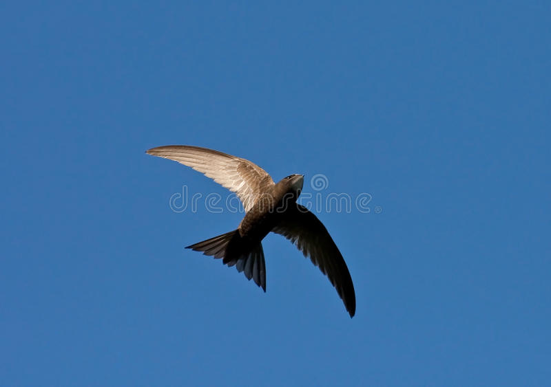 Swift flight