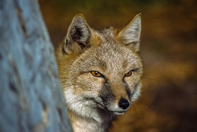 A Swift Fox looking for prey stock images