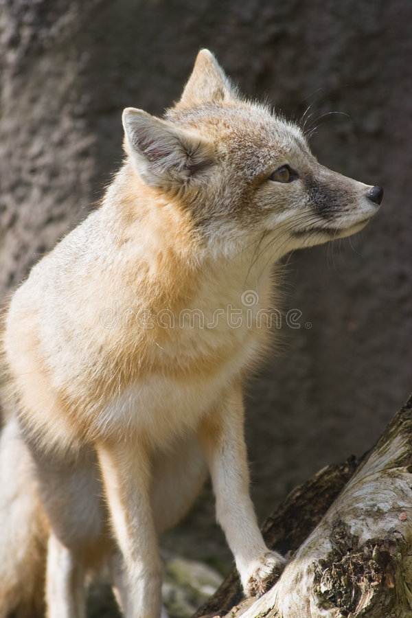 Free Swift Fox Sitting And Looking Royalty Free Stock Images - 7542749