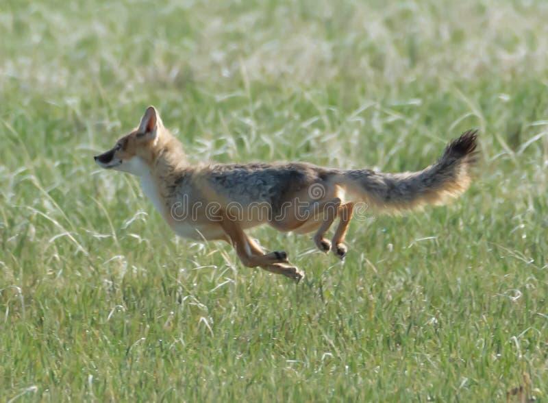 Swift Fox vixen zeigt ihre wahre Geschwindigkeit stockfoto