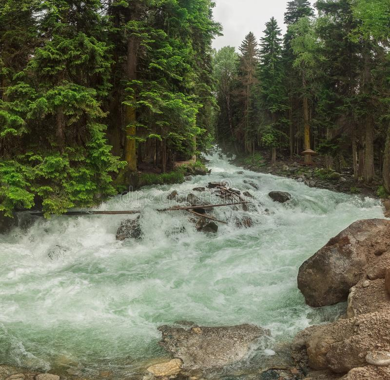 A swift mountain river with clear water pours on rocks and rapids. Surrounded by green coniferous forests royalty free stock images