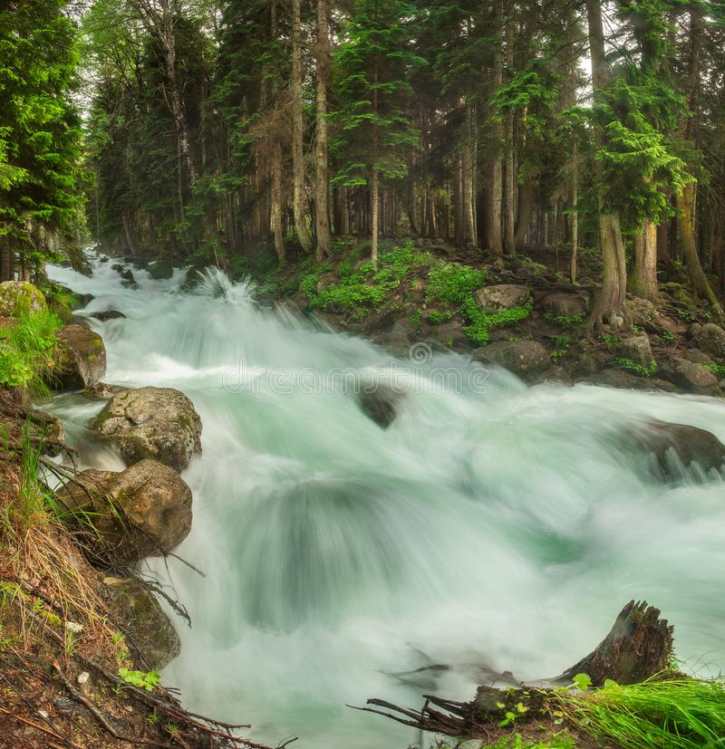 A swift mountain river with clear water pours on rocks and rapids. Surrounded by green coniferous forests stock photography