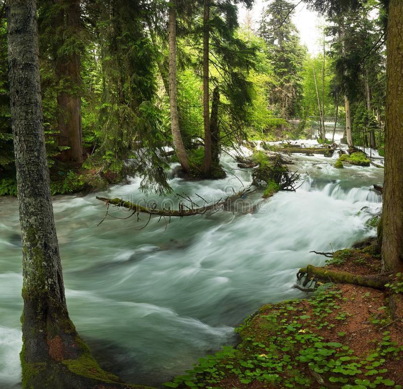 A swift mountain river with clear water pours on rocks and rapids. Surrounded by green coniferous forests royalty free stock photo