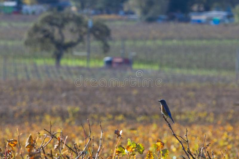 Swift: Resting Up. Vaux`s swift takes a break in anticipation of the next swarm action over a vineyard. Sonoma County, California, US royalty free stock photos