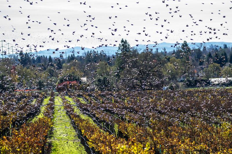 Swift Swarm II. Vaux`s swifts fly in a frenzy over a vineyard. Sonoma County, California, USA stock photos
