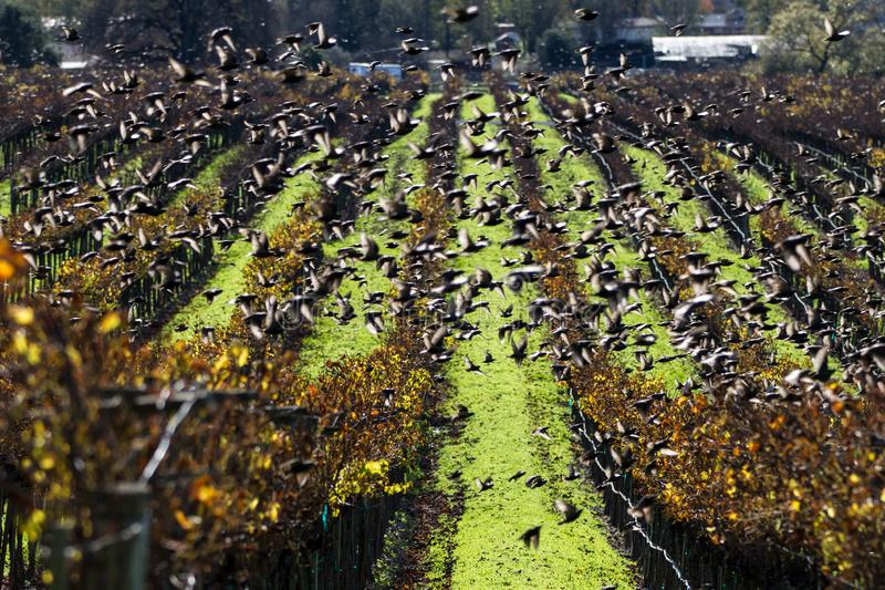Swift Swarm. Vaux`s swifts fly in a frenzy over a vineyard. Sonoma County, California, USA stock images