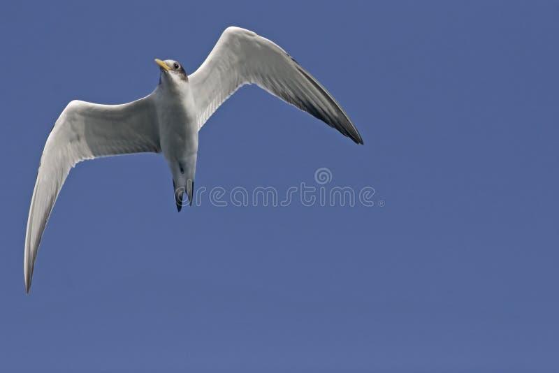 Swift Tern stock photos