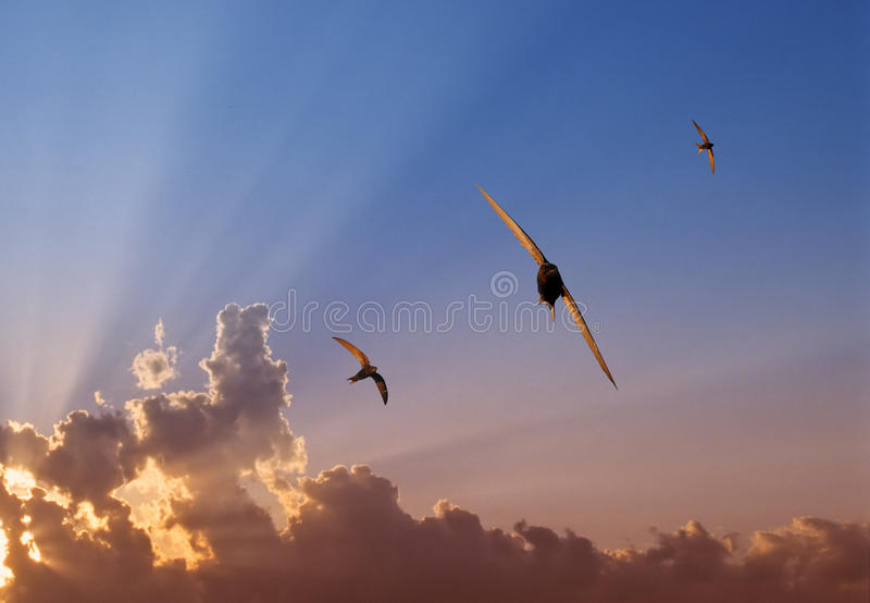 Swift Trio At Sunset Royalty Free Stock Photos