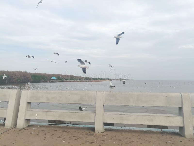 Swiftlet Gull migrated annually. Thailand samutprakarn seaview beauty bird stock photography