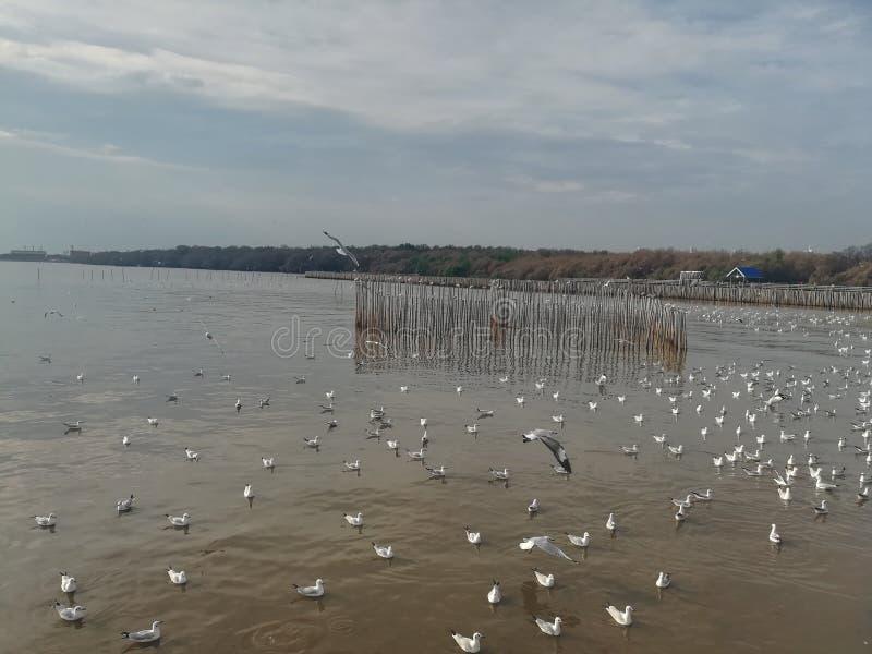 Swiftlet Gull migrated annually. Thailand samutprakarn seaview beauty bird stock image