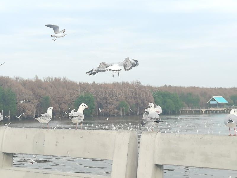 Swiftlet Gull migrated annually. Thailand samutprakarn seaview beauty bird royalty free stock photos