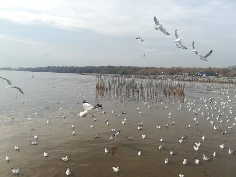 Swiftlet Gull migrated annually. Thailand samutprakarn seaview beauty bird royalty free stock photography