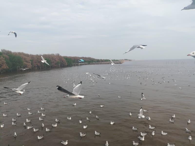 Swiftlet Gull migrated annually. Thailand samutprakarn seaview beauty bird stock photos