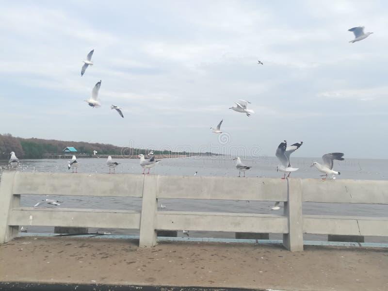 Swiftlet Gull migrated annually. Thailand samutprakarn seaview beauty bird stock images