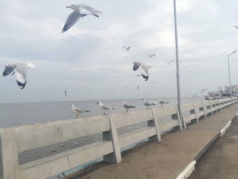 Swiftlet Gull migrated annually. Thailand samutprakarn seaview beauty bird royalty free stock images