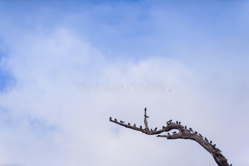 Swiftlets-Vogel auf den getrockneten Baumasten in Hala-Bala Wildlife Sanctuary nahe Knall Lang Reservoir in Yala stockfoto