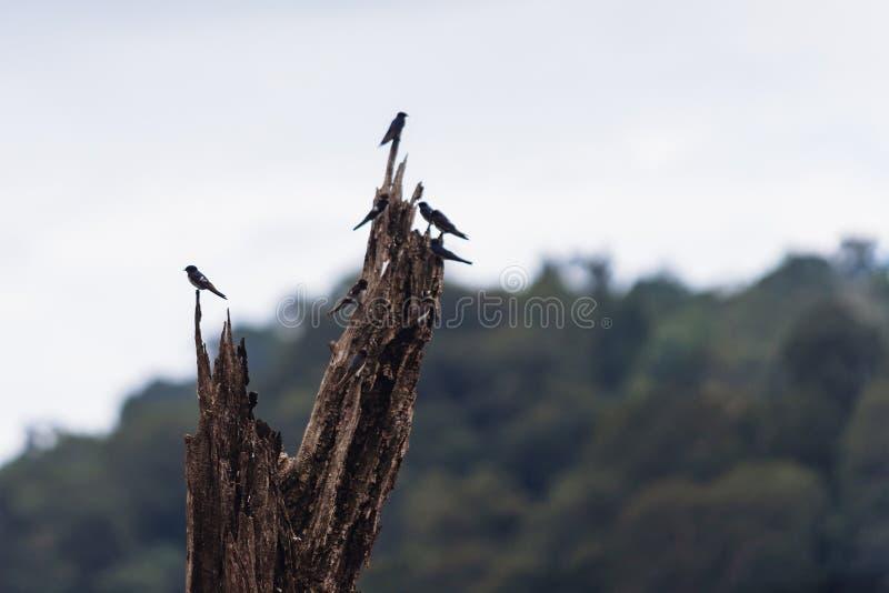 Swiftlets-Vogel auf den getrockneten Baumasten in Hala-Bala Wildlife Sanctuary stockfotos