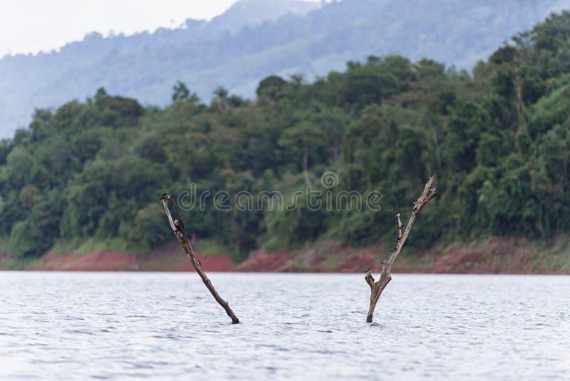 Swiftlets-Vogel auf den getrockneten Baumasten stockfoto