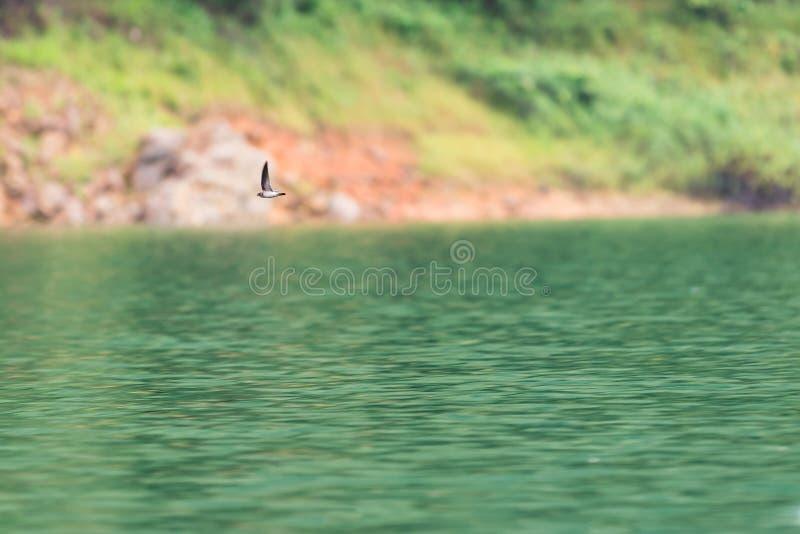 Swiftlets-Vogelfliege über dem Wasser in Hala-Bala Wildlife Sanctuary lizenzfreie stockbilder