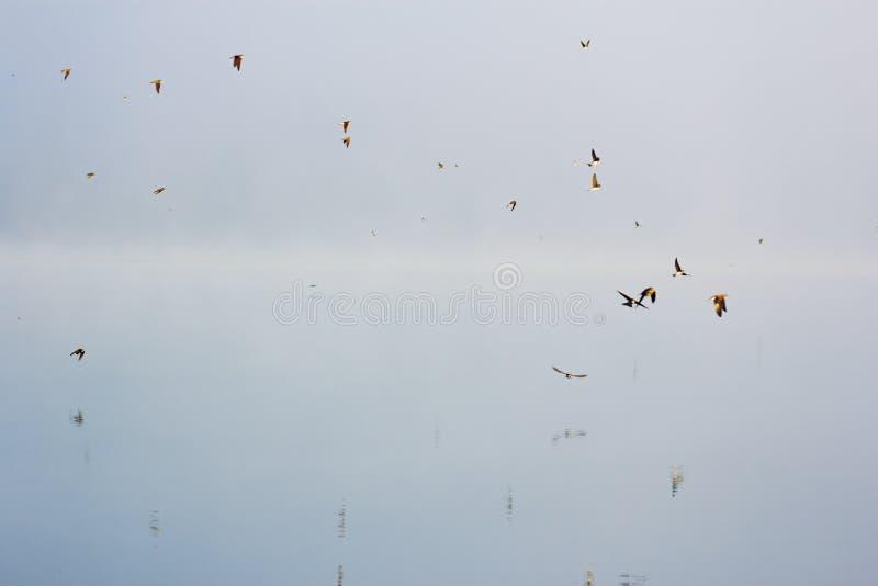 Swifts à superfície da àgua imagens de stock royalty free